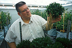 Agronomist Rufus Chaney examines the roots of a metal-accumulating Thlaspi plant in a growth chamber. Link to photo information.
