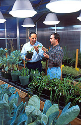 Leon Kochian (left) and molecular biologist David Garvin check wheat plants for aluminum tolerance. Link to photo information.