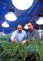Plant physiologist Leon Kochian (left) and molecular biologist David Garvin examine wheat plants of various genotypes. Link to photo information.