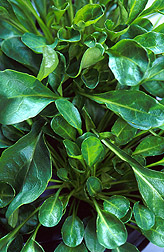 Leaves of Thlaspi caerulescens can accumulate levels of zinc and cadmium many times higher than leaves of most other plants. Link to photo information.