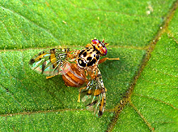 Male medfly resting on a leaf. Link to photo information.