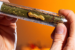 Asian longhorned beetle larvae are maintained on twigs of various tree species. Link to photo information.