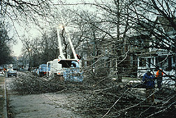 Asian longhorned beetle infestation in Chicago: during cleanup. Link to photo information.