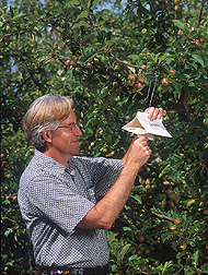 Entomologist places a pear-based kairomone trap in an apple orchard: Click here for full photo caption.