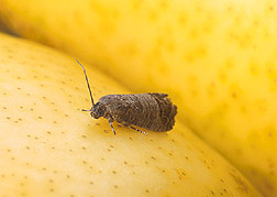 Photo: Adult codling moth on pear: Link to photo information
