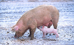Photo: Sow with piglet. Link to photo information
