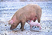 Sow and piglet