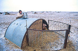 Research assistant secures video camera on top of hut to monitor behavior of sow and piglets inside: Click here for full photo caption.