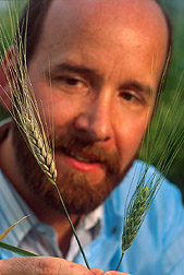 David Schisler examines two wheat seed heads inoculated with the causal agent of head blight. Link to photo information