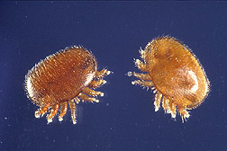 Photo: Varroa jacobsoni mites, blood-sucking parasites of honey bees. Link to photo information