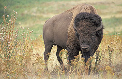 A bison: Click here for photo caption.