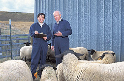 Veterinary microbiologist and veterinary virologist select sheep for a study: Click here for full photo caption.