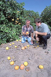 Two entomologists examine fallen grapefruit: Click here for full photo caption.