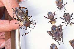 A large leaf-footed bug: Click here for full photo caption.