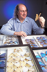 Entomologist examines Morpho butterfly specimens: Click here for full photo caption.