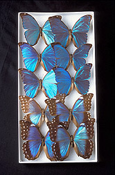 Morpho butterflies: Click here for full photo caption.