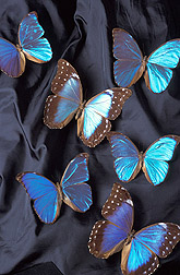 Photo: Beautiful, metallic-blue Morpho butterflies from the National Collections of Insects and Mites. Link to photo information