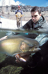 Geneticist returns a trout into a raceway: Click here for full photo caption.