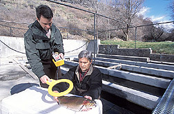 Geneticist and technician use a tag reader to identify trout: Click here for full photo caption.