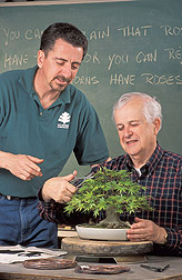 Curator helps volunteer trim a Japanese maple: Click here for full photo caption.