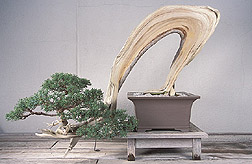Bonsai California juniper. Link to photo information