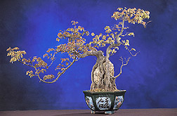 A Trident maple: Click here for full photo caption.