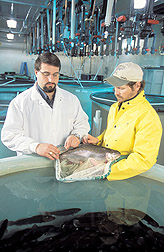 Molecular biologist and fish culturist taking tissue samples: Click here for full photo caption.