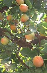 Apache apricots ripening on the tree:  Link to photo information
