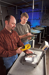Fish nutritionist and technician scan fish for growth rate: Click here for full photo caption.