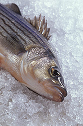 Photo: Hybrid striped bass, also known as sunshine bass. Link to photo information