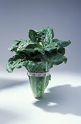 A low-cal head of romaine lettuce. Link to photo information