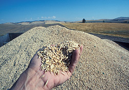 In foreground, a hand holds a tiny pile of oats; in background is large pile of the harvested oat crop. Link to photo information