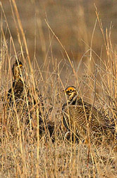 Male lesser prairie chickens resting at the Southern Plains Range Research Station: Click here for full photo caption.