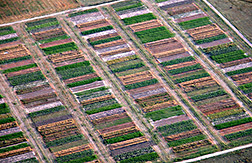 An aerial view of various crops growing in alternative cropping system plots: Click here for full photo caption.