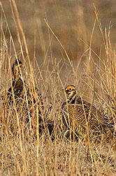 Dos machos urogallos chicos de la pradera. Enlace a la información en inglés sobre la foto