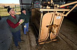 En un establo, Bob Gillen y Dan Persons anotan el peso de una vaca. Enlace a la información en inglés sobre la foto