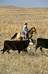 Dan Persons conduce una manada de vacas y terneros entre pastos. Enlace a la información en inglés sobre la foto
