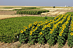 Sunflowers and proso millet plots in the alternative crop rotation plots. Link to photo information
