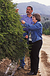 ARS horticulturalist and museum scientist at UC Riverside examine leaf structure of a wild citrus relative: Click here for full photo caption.