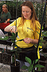 Three biological technicians work to propagate and maintain experimental plants in greenhouses: Click here for full photo caption.