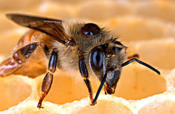 A Varroa mite on the back of a honey bee: Click here for full photo caption.