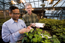 Molecular geneticist and technician rate soybean plants for bean pod mottle virus symptom severity 2 weeks after inoculation: Click here for full photo caption.