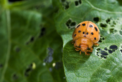 Closeup of adult Mexican bean beetle on a bean plant. Link to photo information