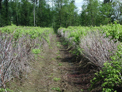 In a field near Corbett, Oregon, 4-year-old black raspberry bushes exhibit dead canes: Click here for full photo caption.