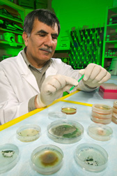 Support scientist begins the process of isolating DNA from endophytic Trichoderma cultures: Click here for full photo caption.