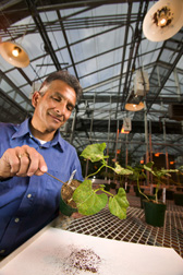 ARS plant pathologist collects spores of the pathogen that causes bean rust. Click  here for full photo caption.