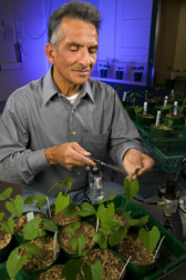In laboratory, Marcial Pastor-Corrales inoculates bean plants with spores of the bean rust fungus. Link to photo information