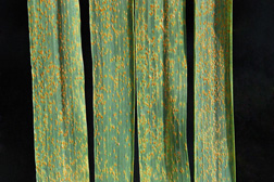 Close-up of wheat leaf rust on wheat: Click here for photo caption.