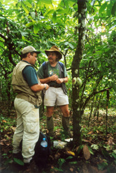 Scientists with CABI Bioscience prepare to isolate endophytes from a cacao tree trunk: Click here for full photo caption.