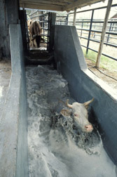 Cattle going through a tick treatment bath at McAllen, Texas: Click here for full photo caption.